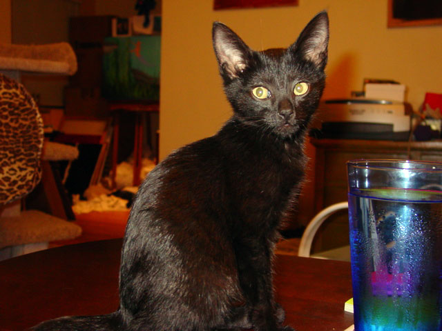 black cat about to drink out of a blue glass of water